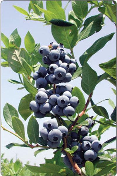 Blueberry 'Jersey' - vaccinium corymbosum
