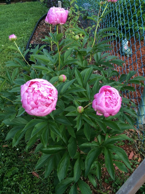 Peony 'Lady Orchid' - paeonia