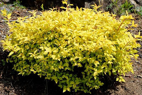 Spiraea japonica 'Lemon Princess'