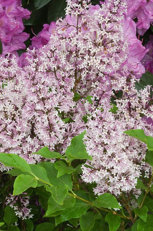 Syringa pubescens subsp. patula 'Miss Kim' Lilac