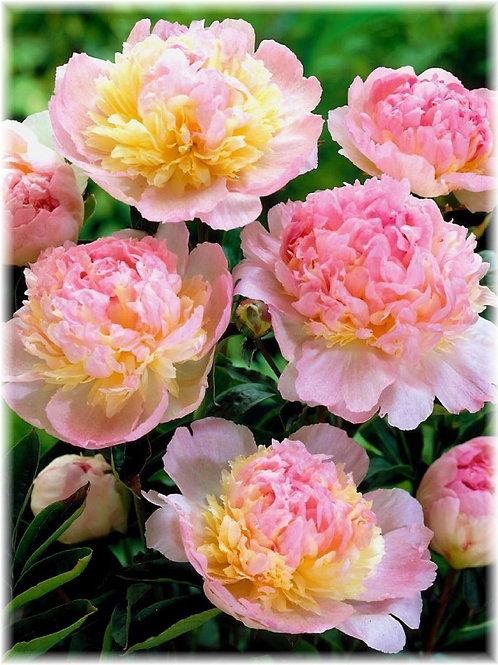 Paeonia x 'Raspberry Sundae'