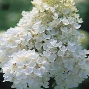 Hydrangea 'PeeGee'- Hydrangea paniculata Grandiflo