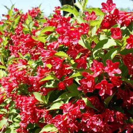 Weigela florida ' Red Prince'