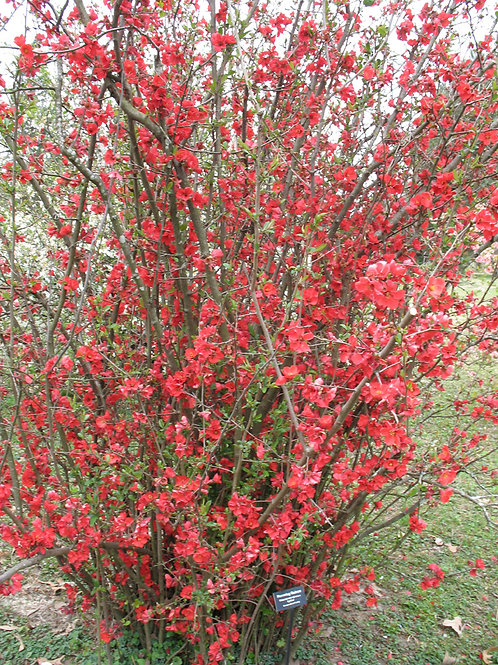 Flowering Quince 'Spitfire' - Chaenomeles speciosa