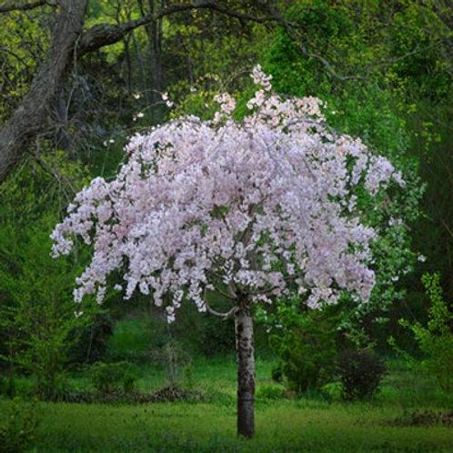 Prunus xyedoensis Yoshino Cherry 'Snow Fountain'
