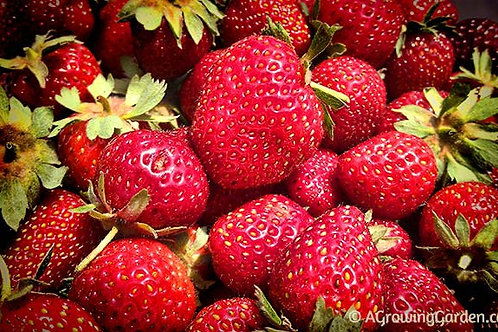 June bearing Strawberry 'Jewel' - fragaria x anana