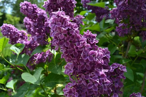 Ludwig Spaeth Lilac- Syringa vulgaris