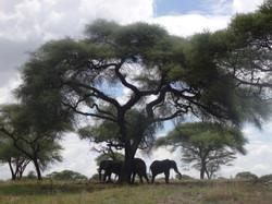 Elephants under Acacia