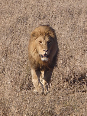 Natural Attraction Safaris Lion in Serengeti
