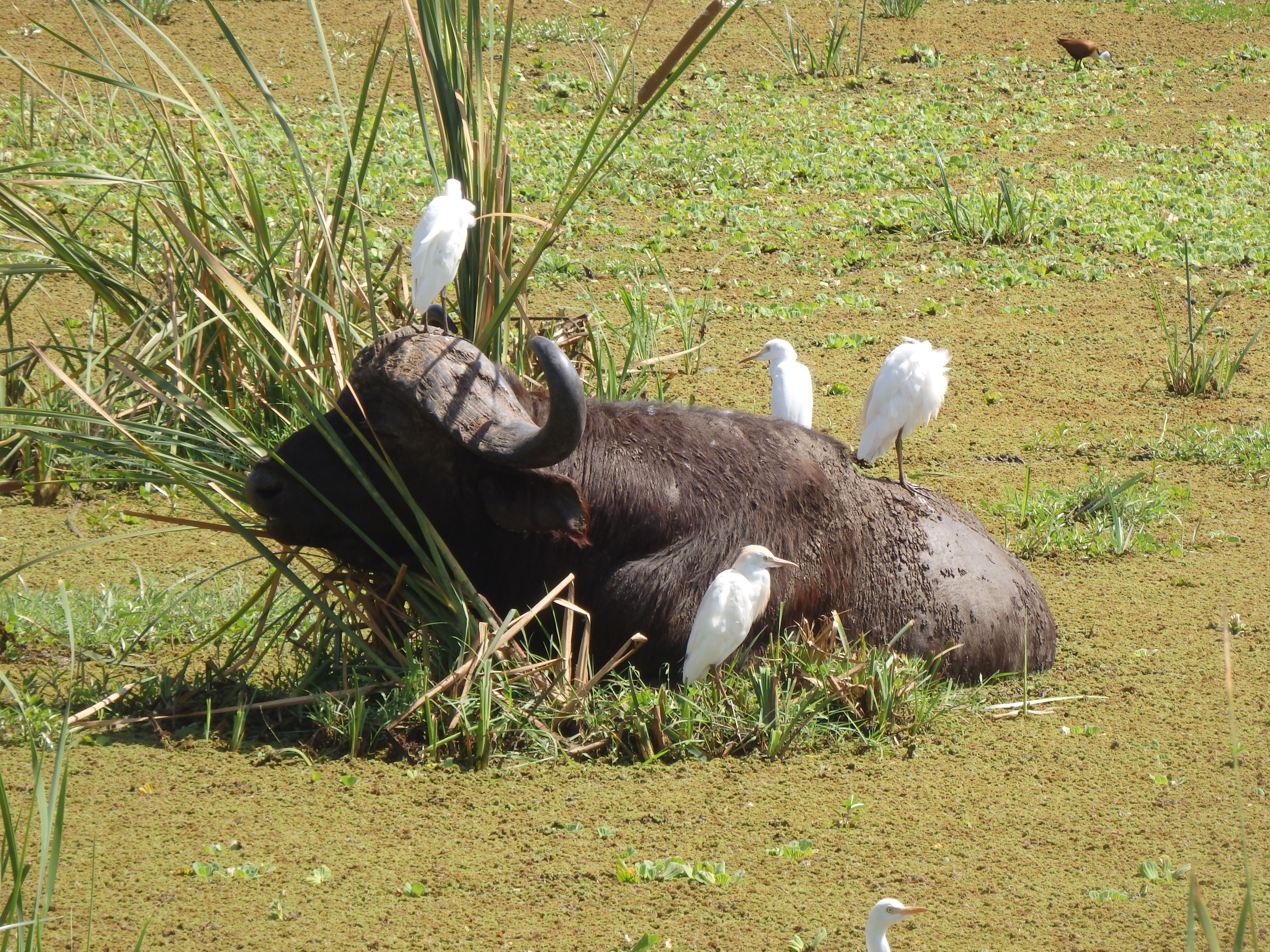 Buffalo and Egrets