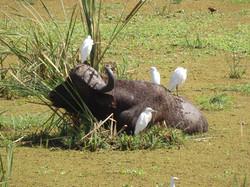 Buffalo and Egrets