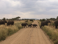 Elephants in Serengeti