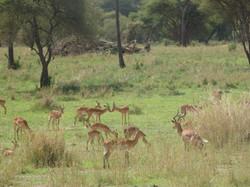 Harem of Impala