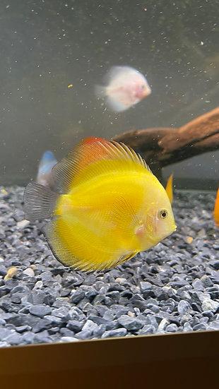 Discus Yellow Melon 9cm