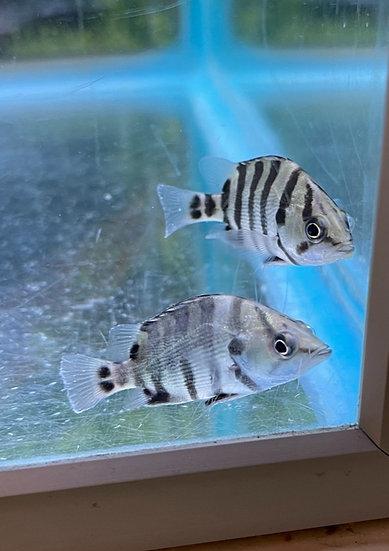 Tigerfish Microlepis/Datnoides polota
