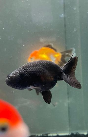 Ranchu Black 4-5cm