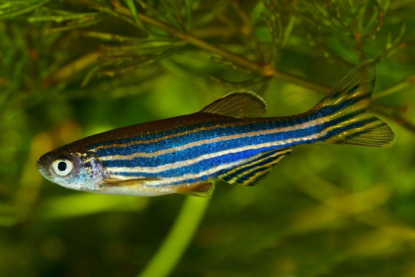 Sebrafisk (L)