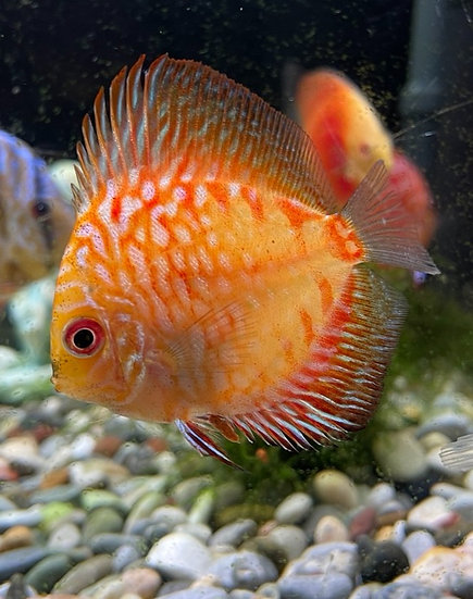 Discus Red Pigeon Blood 6cm