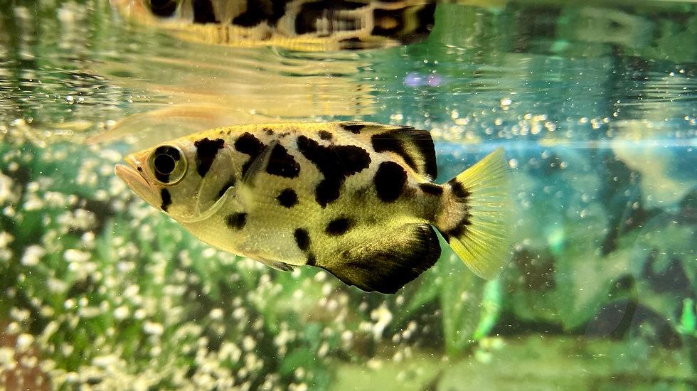 Archer Fish, Toxotes Jaculatrix 5-6cm