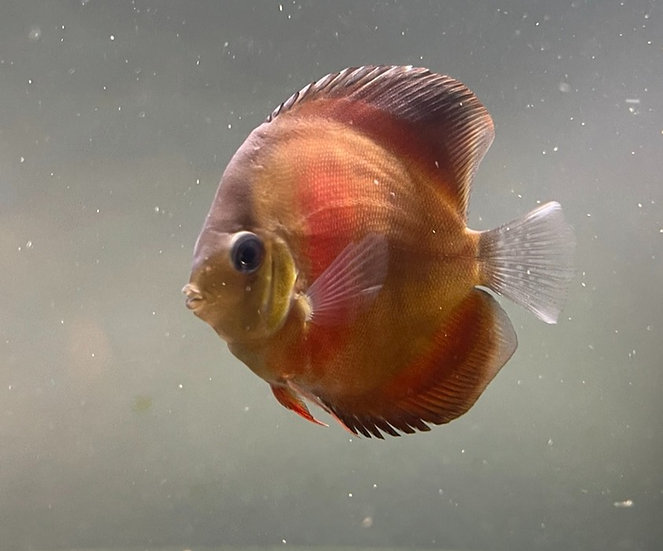 Discus Red Rose 9cm