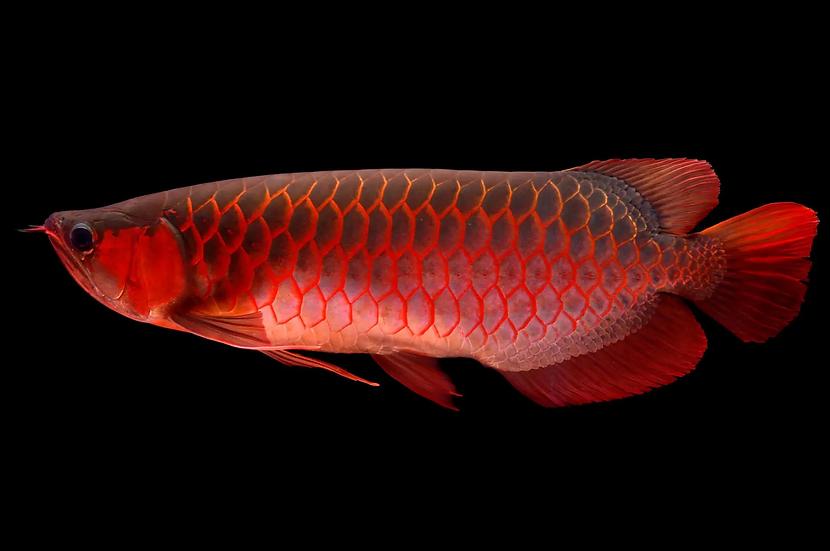 Super Red Asian Arowana (S)