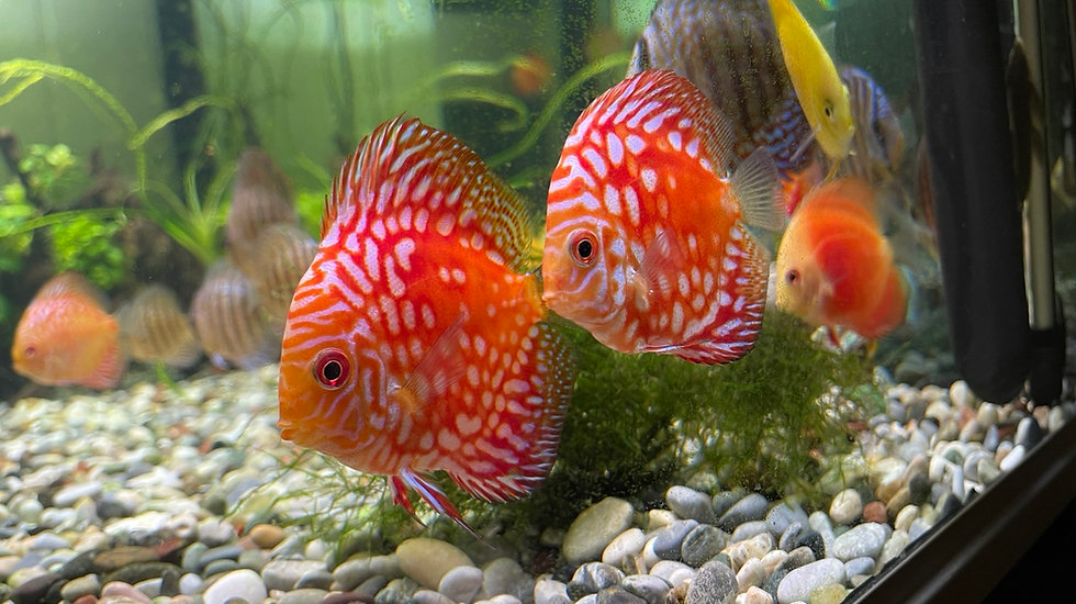 Discus Red Pigeon Blood 9cm