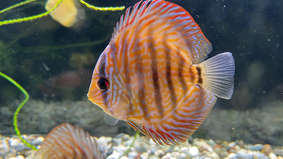 Discus Red Turquoise fra 6-7cm