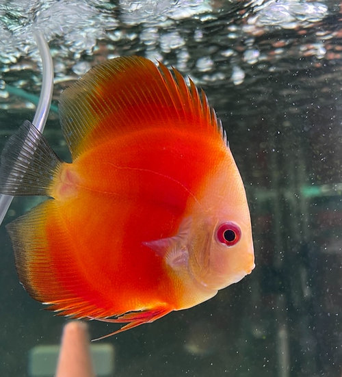 Discus Super Red Melon 9cm