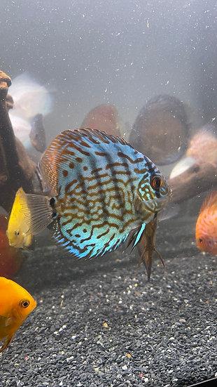 Discus Blue Turquoise 9cm
