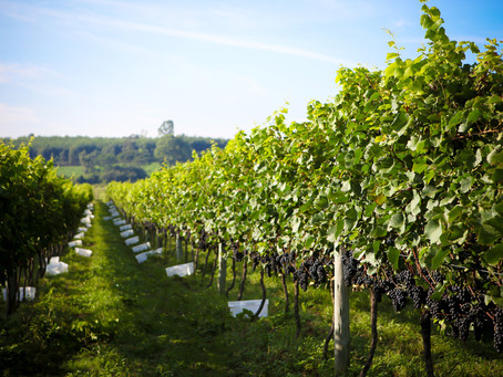 Após recorde de 2017, safra da uva deverá ficar dentro da média histórica