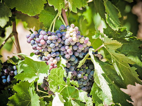 VERAISON: quando as uvas se tornam maduras!