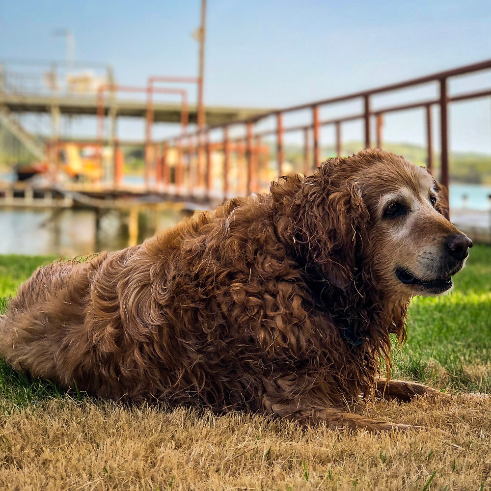 Max a Golden Retriever resting in front of Possum Kingdom Lake