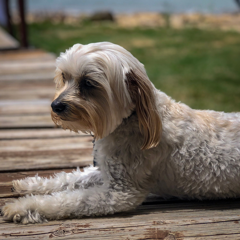 A small white dog resting on the porch