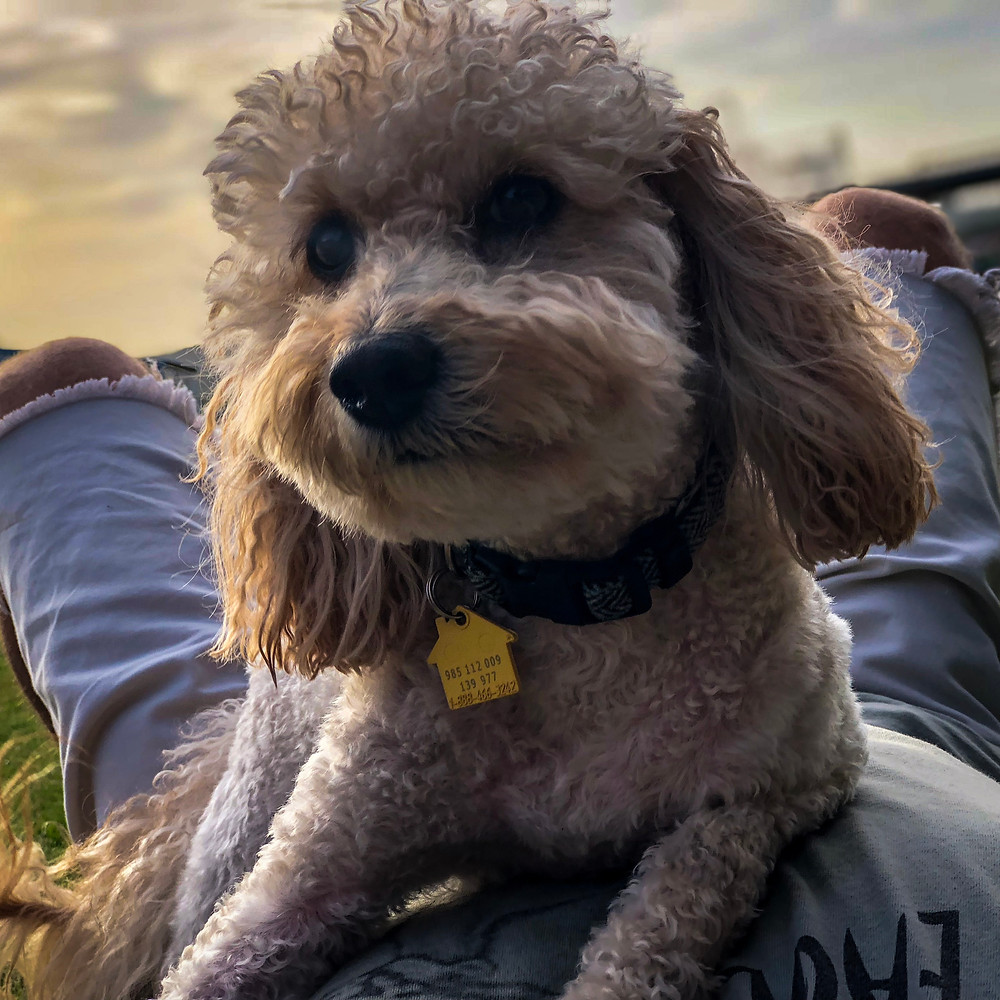 A miniature golden doodle on someone's lap.