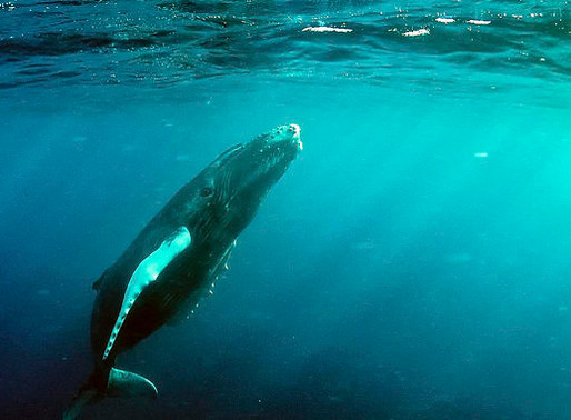 Marine Noise Population Threatens Whale Populations: A Few International Solutions