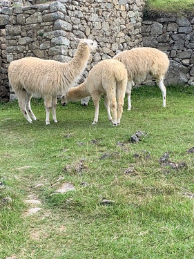 Llama that reside in Macchu Piccu