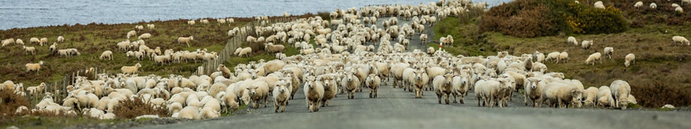 stripe-sheep-crossing