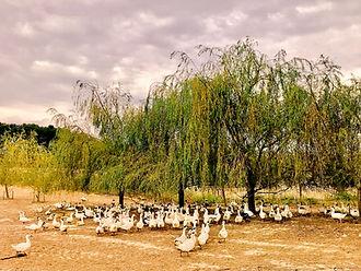 le-canard-chez-degert-producteurs-sud-ou