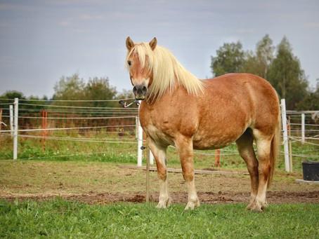 Gestörte Entgiftungsfunktion der Leber beim Pferd und ihre Folgen