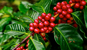 Coffee Tree.png