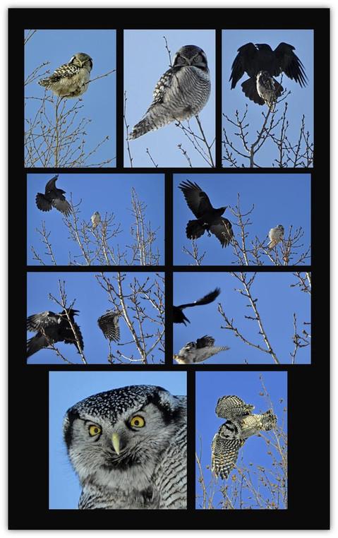 Owl & Raven