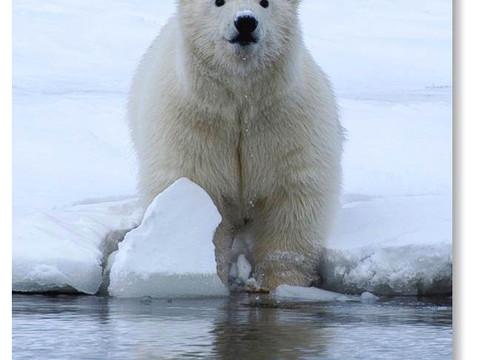 Little Polar Cub