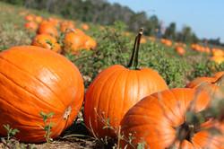 pumpkin-patch-halloween-autumn-5184x3456