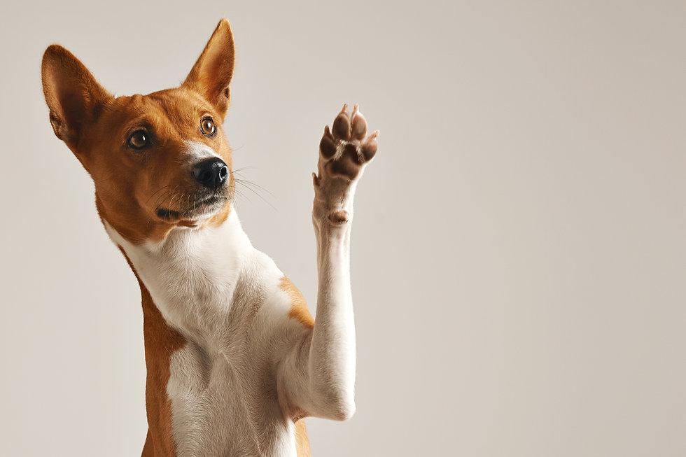 adorable-brown-white-basenji-dog-smiling-giving-high-five-isolated-white.jpg