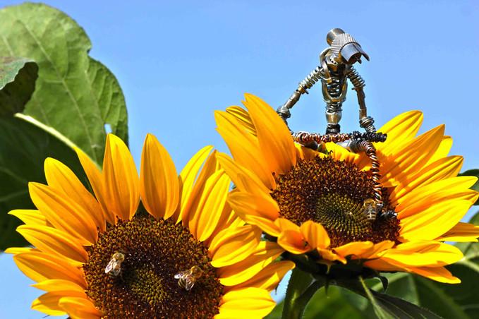 Sculpture d'un robot en récupération sur un tournesol