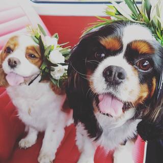 A1 Wash & Grooming   Pet Wedding Grooming   Puppy & Kombi Shoot