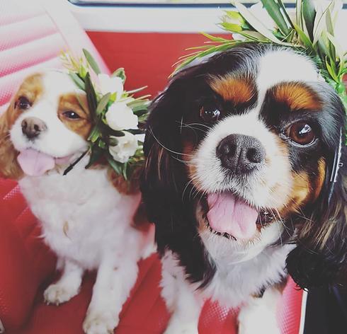 A1 Wash & Grooming   Pet Wedding Groomer