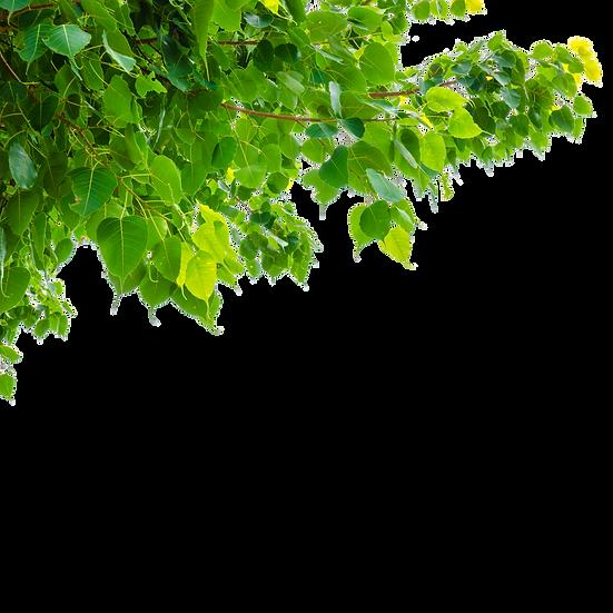 —Pngtree—green bodhi leaf on white_51642