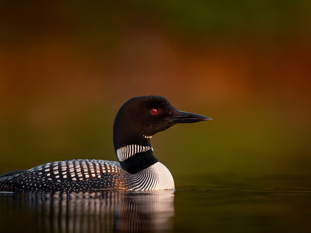 My Loon Friend--A Story of Trust and Healing