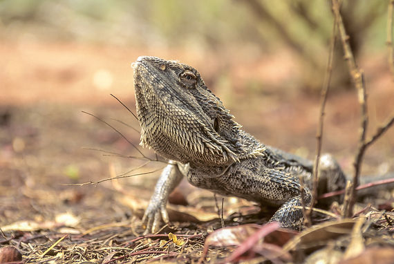 bearded dragon02 (1 of 1).jpg